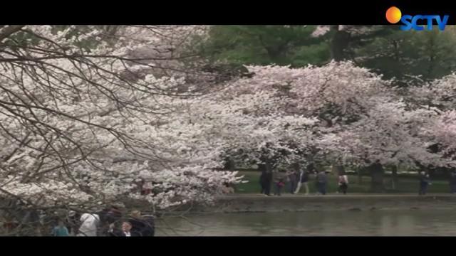 Kawasan Danau Tidal Basin di Washington DC ramai oleh warga yang ingin menikmati indahnya bunga sakura.