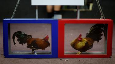 Dua ekor ayam terlihat di klub sabung ayam Campanillas, Toa Baja, Puerto Rico, Rabu (18/12/2019). Negara persemakmuran Amerika Serikat ini memiliki 71 klub sabung ayam di 45 kota yang mendapat izin Departemen Olahraga dan Rekreasi. (AP Photo/Carlos Giusti)