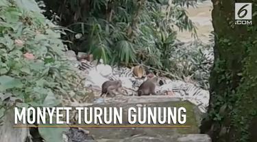 Kawanan monyet Sukabumi mendadak turun gunung ke permukiman warga.