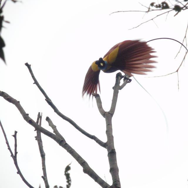 1080+ Gambar Burung Cendrawasih Untuk Tarian Terbaik
