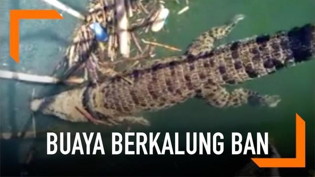 Buaya berkalung ban yang sempat menghebohkan Kota Palu ditemukan terjebak di perangkap ikan milik warga. Namun, buaya kembali menghilang sebelum sempat dievakuasi.
