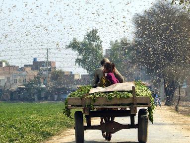 Petani mengendarai gerobak di tengah serbuan belalang di Distrik Okara, Provinsi Punjab, Pakistan timur (15/2/2020). Serangan belalang terhadap tanaman telah menyebabkan kerugian finansial yang besar bagi para petani di beberapa wilayah negara tersebut. (Xinhua/Str)