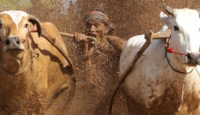 Joki mengigit ekor Jawi agar berlari kencang pada ajang Pacu Jawi di Tanah Datar, Sumatera Barat, Sabtu (13/8/2016). (Bola.com/Nicklas Hanoatubun)