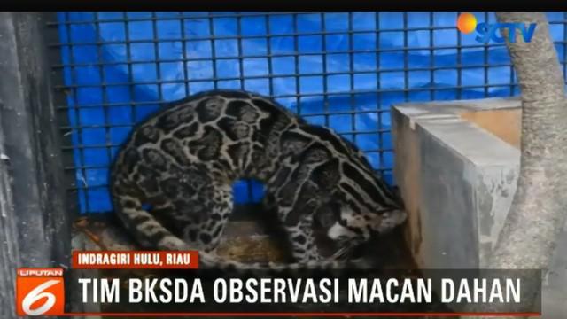 BBKSDA Riau yang membantu warga menangkap macan dahan itu membawanya ke balai konservasi.