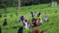 Muda mudi berfoto di Perkebunan Kebun Teh kawasan Puncak, Kabupaten Bogor, Jawa Barat, Minggu (31/5/2020). Meski Pemkab Bogor memperpanjang masa Pembatasan Sosial Berskala Besar (PSBB) hingga 4 Juni namun wisatawan tetap memadati kawasan wisata kebun teh. (Liputan6.com/Helmi Fithriansyah)