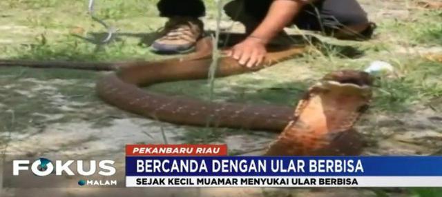 Saat ini Muamar bahkan tengah memelihara sebanyak 15 ekor ular berbisa dengan berbagai macam jenis.
