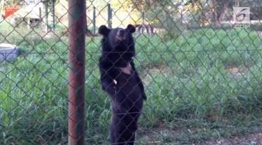 Seekor beruang berjalan seperti layaknya manusia.