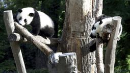Anak panda Meng Xiang (nama panggilan Piet), kanan, dan Meng Yuan (nama panggilan Paule), kiri, memanjat dalam kandang saat ulang tahun pertama mereka di Berlin, Jerman, Senin (31/8/2020). (AP Photo/Michael Sohn)