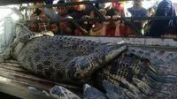 Buaya yang diduga terkam warga Desa Barakkang, Mamuju Tengah ditangkap warga desa (Liputan6.com/Abdul Rajab Umar)