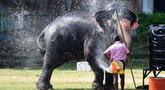 Seekor gajah menyemprotkan air ketubuhnya jelang festival Perahera di Kuil Gangaramaya, Sri Lanka (18/2). 50 gajah dan ribuan penabuh genderang tradisional, penari, dan biksu akan berpartisipasi dalam prosesi Navam Budha. (AFP Photo/Ishara S. Kodikara)