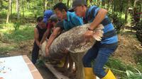 Para petugas di kawasan hutan wisata Mata Kucing menguburkan ikan Arapaima Gigas yang mati. (Batamnews/Yude)
