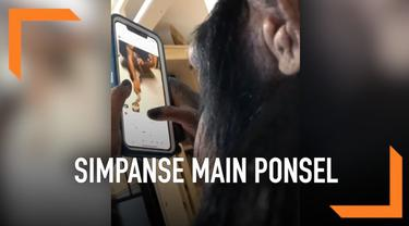 Layaknya manusia, simpanse ini tengah asik memainkan ponsel sambil melihat satu persatu foto dan video yang ada di akun Instagram.