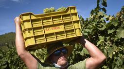 Seorang pemetik anggur bekerja selama panen tahun 2020 di kebun anggur kilang anggur Godeval di O Barco de Valdeorras, Spanyol (26/8/2020). (AFP Photo/Miguel Riopa)