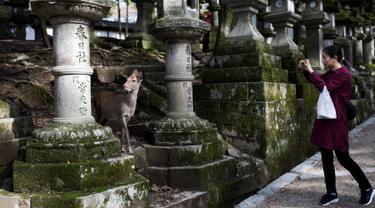 Seorang turis mengambil gambar rusa ketika mengunjungi taman Nara di kota Nara, Jepang pada 7 Desember 2018. Taman Nara yang memiliki luas 600 hektare ini, menjadi tempat tinggal bagi lebih dari 1.000 ekor rusa liar. (Behrouz MEHRI / AFP)