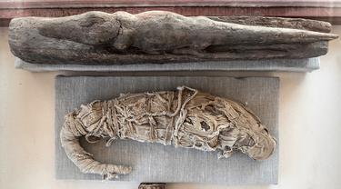 Mumi buaya ditampilkan setelah serangkaian penemuan oleh tim arkeologi Mesir di Saqqara, selatan Kairo, Sabtu (23/11/2019). Mumi hewan seperti anak singa, kucing, kobra, buaya, hingga kumbang ditemukan oleh arkeolog, termasuk 75 patung kayu dan perunggu dari masa silam. (Khaled DESOUKI/AFP)