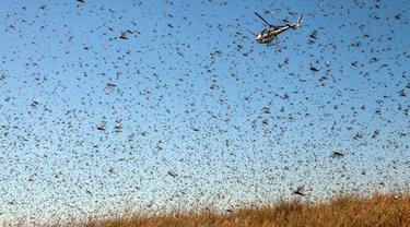 FAO membantu Madagaskar untuk melawan hama belalang ini. Sebuah helikopter disiapkan untuk menyemprot peptisida dari udara (AFP Photo/Rijasolo).