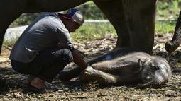 Seorang dokter hewan memeriksa bayi gajah Sumatera setelah lahir di Unit Respons Konservasi Alue Kuyun di Meulaboh, provinsi Aceh (27/7/2019). Bayi gajah betina tersebut diperkirakan berada di dalam kandungan selama 21 bulan.  (AFP Photo/Chaideer Mahyuddin)