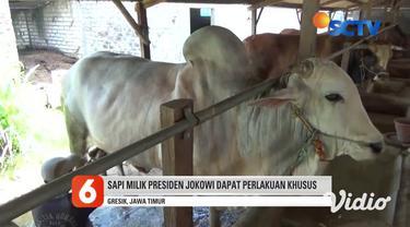 Sapi raksasa peranakan Ongole, seberat 1,2 ton milik Presiden Joko Widodo. Sapi yang akan disembelih untuk Hari Raya Idul Adha nanti, dibeli dari Muhammad Sholeh peternak sapi di Desa Campurejo, Kecamatan Panceng, Kabupaten Gresik.