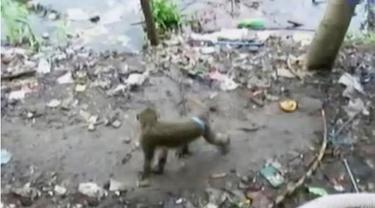 Segerombolan monyet mulai kesulitan mencari makanan setelah habitatnya di daerah mangrove rusak dan dijadikan kawasan perumahan elit.
