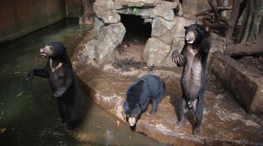 Beruang madu mengangkat tangan mereka dari dalam kandang yang berada di Kebun Binatang Bandung, Jawa Barat, Rabu (18/1). Di antara empat beruang, ada satu beruang yang terlihat paling kurus hingga membuat tulang rusuknya menonjol. (TIMUR MATAHARI / AFP)