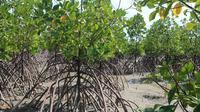 Hutan mangrove. Kementerian KKP