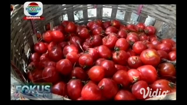 Akibat anjloknya harga tomat, petani di Magetan memilih membiarkannya membusuk di lahan. Sebab, biaya untuk memanen lebih besar daripada uang yang mereka dapatkan dari menjual hasil panenan.