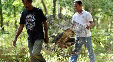 Petugas Badan Konservasi Alam Indonesia (BKSDA) membawa elang dada putih untuk dilepaskan ke alam liar di kawasan hutan Aceh Besar, Aceh, Kamis (1/8/2019). BKSDA Aceh melepasliarkan dua ekor satwa langka dan lindungi yakni Kukang Sumatra dan elang laut dada putih. (CHAIDEER MAHYUDDIN/AFP)