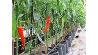 Hilangkan stres sekaligus berhemat dengan menanam cabai hidroponik di rumah.