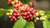 Ratusan hektare tanaman kopi robusta di lereng Gunung Semeru atau kolesem memasuki panen raya. (Liputan6.com/Dian Kurniawan)