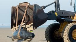 Petugas menggunakan alat berat untuk mengevakuasi paus pilot di Pantai Calais, Prancis, Senin (2/11). Enam dari 10 paus ditemukan sudah mati terdampar di pantai, sedangkan empat paus berhasil diselamatkan dan dikembalikan ke laut. (AFP/ Denis Charlet)