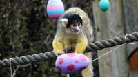 Monyet memakan kudapan yang tersimpan di cangkang-cangkang telur dari kertas di kebun binatang London, Inggris, 29 Maret 2018.
