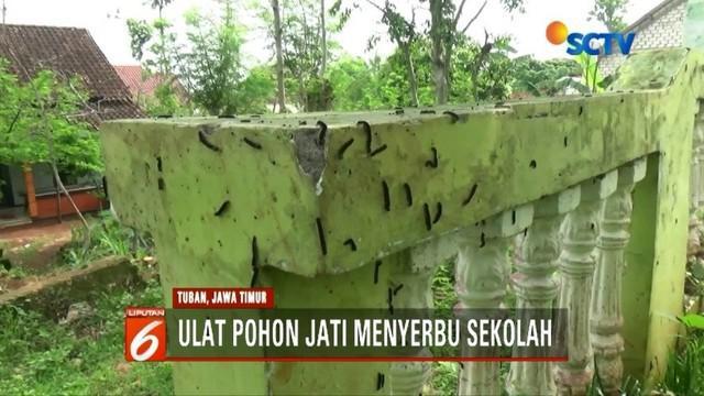 Para siswa sebuah sekolah di Tuban, Jawa Timur, resah akibat tempat mereka belajar diserbu ribuan ulat jati.