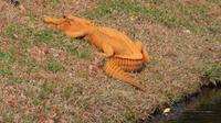 Foto penampakan aligator berwarna oranye yang dipotret oleh Stephen Tantum di Florida - AP