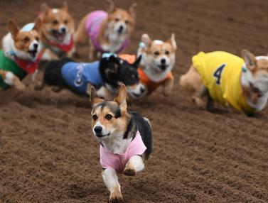 Anjing-Anjing Corgi