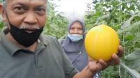 Salah satu pengunjung pertanian melon gold sistem greenhouse kota Tasikmalaya, Jawa Barat tengah menunjukan salah satu buah melon segar hasil petikannya sendiri. (Liputan6.com/Jayadi Supriadin)