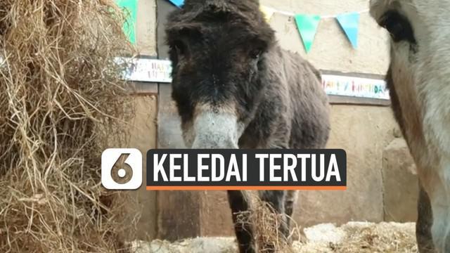 Seekor keledai bernama Bubbles merayakan ulang tahunnya yang ke-60 di Inggris. Ia menjadi keledai tertua di dunia.