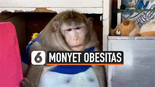 SERING DIKASIH JUNK FOOD, MONYET DI THAILAND OBESITAS