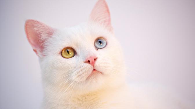 10 Jenis Kucing Termahal Di Dunia Berapa Harganya Bisnis Liputan6 Com