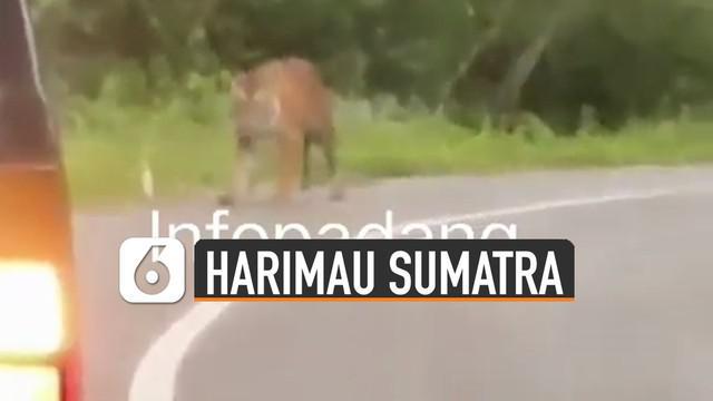 Video harimau sumatera berkeliaran di jalan viral di media sosial.