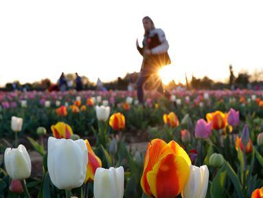 Pengunjung diantara bunga tulip yang ditanam pasangan asal Belanda Edwin Koeman dan Nitsuje Wolanios di Cornaredo, Italia (29/3). Pasangan ini menanam 250.000 tulip dari 183 varietas yang berbeda untuk menciptakan tradisi Belanda. (AP/Antonio Calanni)