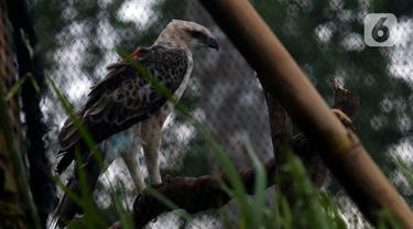 Burung Elang Brontok (Nisaetus Cirrhatus) bertengger dalam sangkar besar yang ada di area pelepasan burung Cangkuang, Cidahu, Jawa Barat. Lokasi Pelepasan Elang Brontok ditentukan  setelah melewati penilaian habitat oleh Balai TNGHS. (merdeka.com/Imam Buhori)