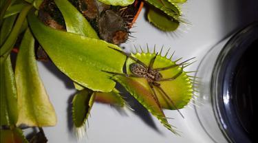 Aduh, malangnya nasib laba-laba yang dimakan tanaman pemakan serangga.
