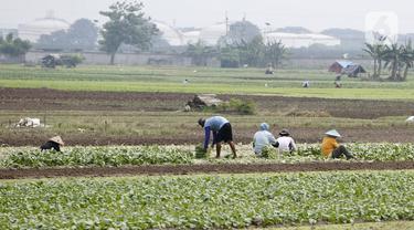 FOTO: Panen Sayuran di Masa Pandemi
