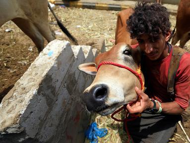 Lelaki Yaman berpose dengan seekor sapi di pasar ternak menjelang Idul Adha di ibu kota Sanaa, 6 Agustus 2019. Umat Islam di seluruh dunia akan merayakan Idul Adha yang identik dengan tradisi berkurban menggunakan hewan seperti kambing, domba, unta, sapi dan kerbau. (MOHAMMED HUWAIS/AFP)