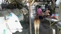 Tujuh tahun sudah keluarga mereka tinggal di kandang sapi yang beratap daun tebu, dinding bambu, dan beralas tanah.