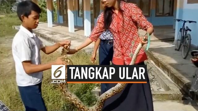 Seorang guru perempuan di Mamuju Sulawesi barat nekat menangkap ular piton yang masuk ke sekolah. Ia mengaku spontan lakukan aksinya agar ular tidak ganggu murid-muridnya.