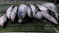 Menjelang perayaan Hari Imlek, pedagang musiman ikan bandeng mulai marak di pasar kawasan Rawa Belong, Jakarta, Rabu (18/2). Ikan bandeng berukuran besar dijual mulai dari harga 40 ribu-60 ribu rupiah. (Liputan6.com/Johan Tallo)