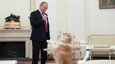 Presiden Vladimir Putin bermain dengan anjingnya yang bernama Yume sebelum memberikan keterangan untuk media Jepang, Japanese Nippon Television dan surat kabar Yomiuri di Kremlin di Moskow, Rusia (7/12). (Sputnik/Kremlin/Alexei Druzhinin via Reuters)