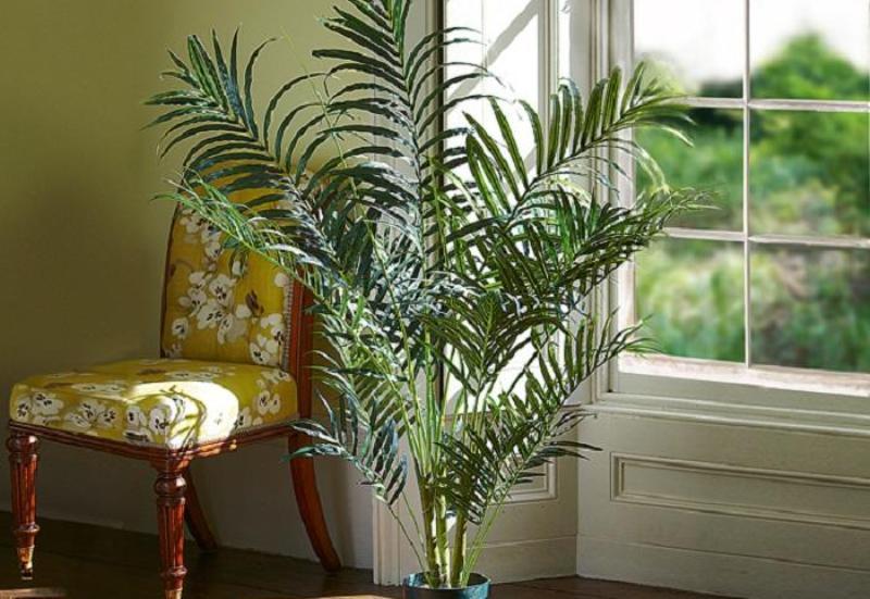 3.  Areca Palm Tree (pohon palem). Foto: WittyFeed