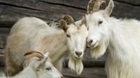 75 ekor kambing dipecat dari pekerjaan mereka karena tidak becus saat bekerja